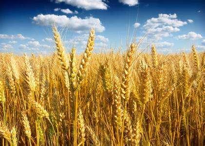 """山东小麦新品种""""烟农999""""刷新安徽小麦单产纪录"""