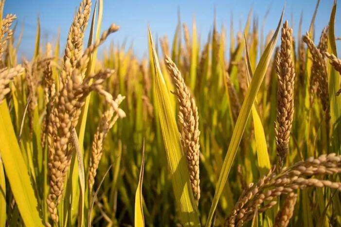 41个水稻品种被认定为绿色超级稻