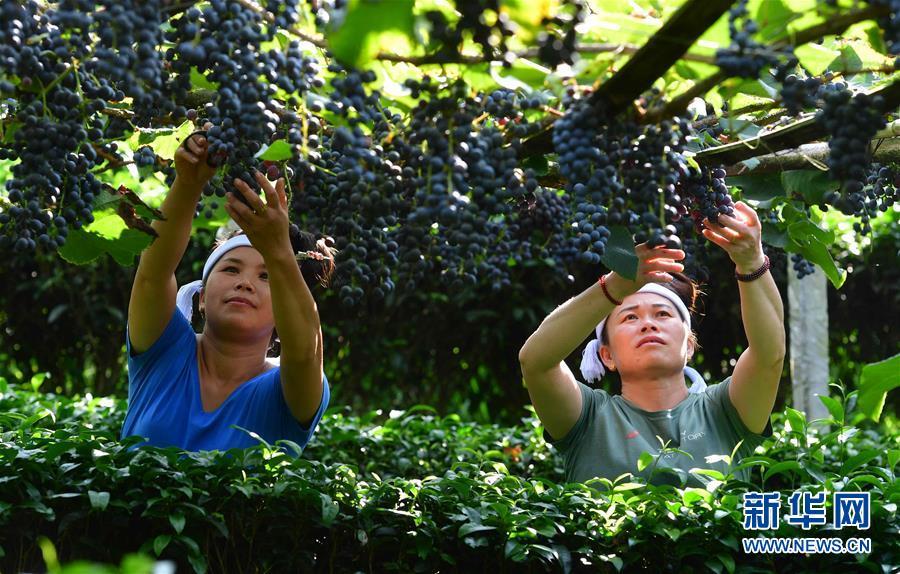 广西三江:葡萄种植,助群众增收脱贫