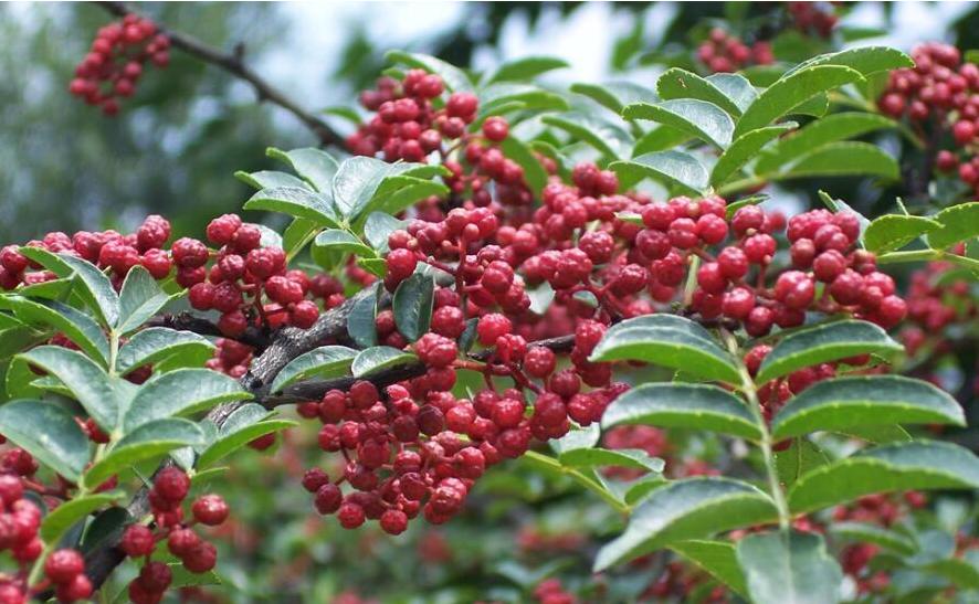 贵州天柱小花椒成大产业,初见效益